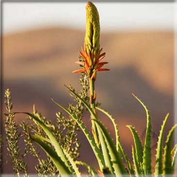 Aloe vera flp aloe christine production