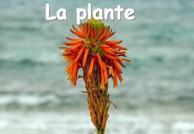 L'aleovera la plante aloe christine flp